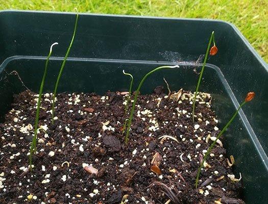 tulipaner spirer fra frø