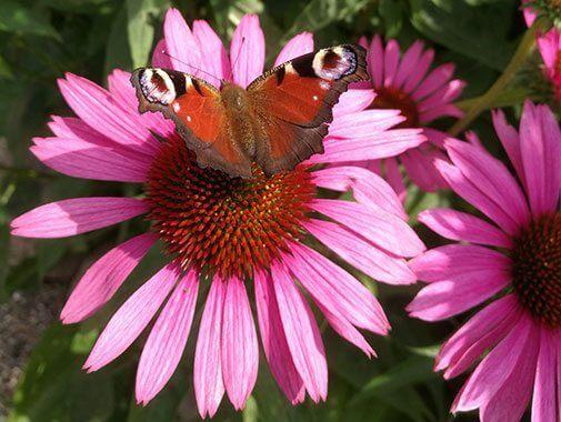 Sommerfugl i solhat i Birkegårdens Haver