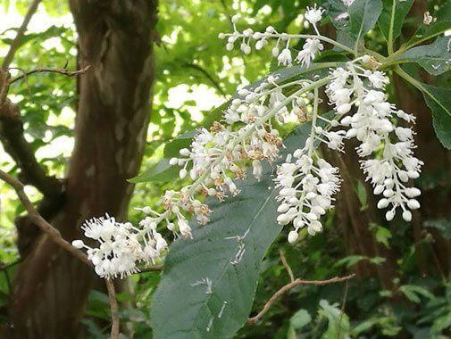 Konvalbusk, Clethra barbinervis i blomst