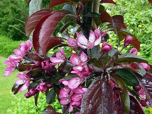 Malus sieboldii 'Aros' i blomst