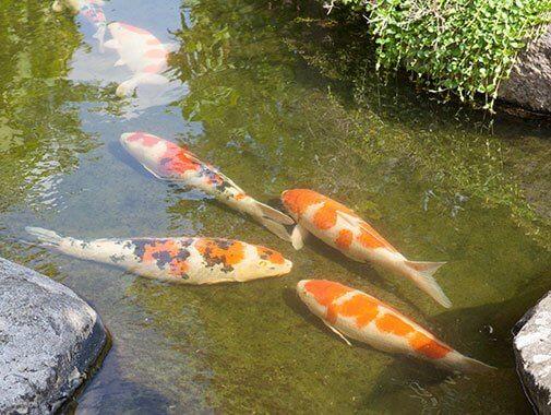 Store koikarper i Zen Garden