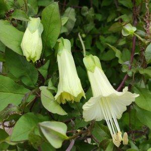 Tre stadier af blomst på Cobaea pringlei