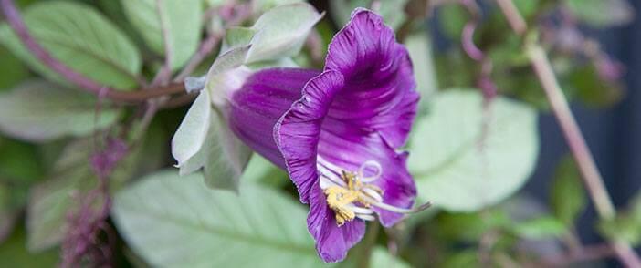 Klokkeranke i blomst