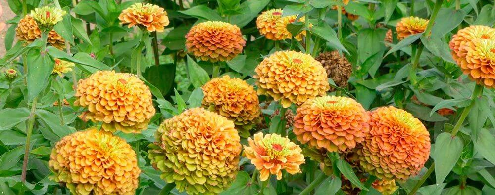 Zinnia elegans 'Queeny Lime Orange