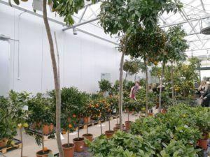 Billigblomst citrustræer