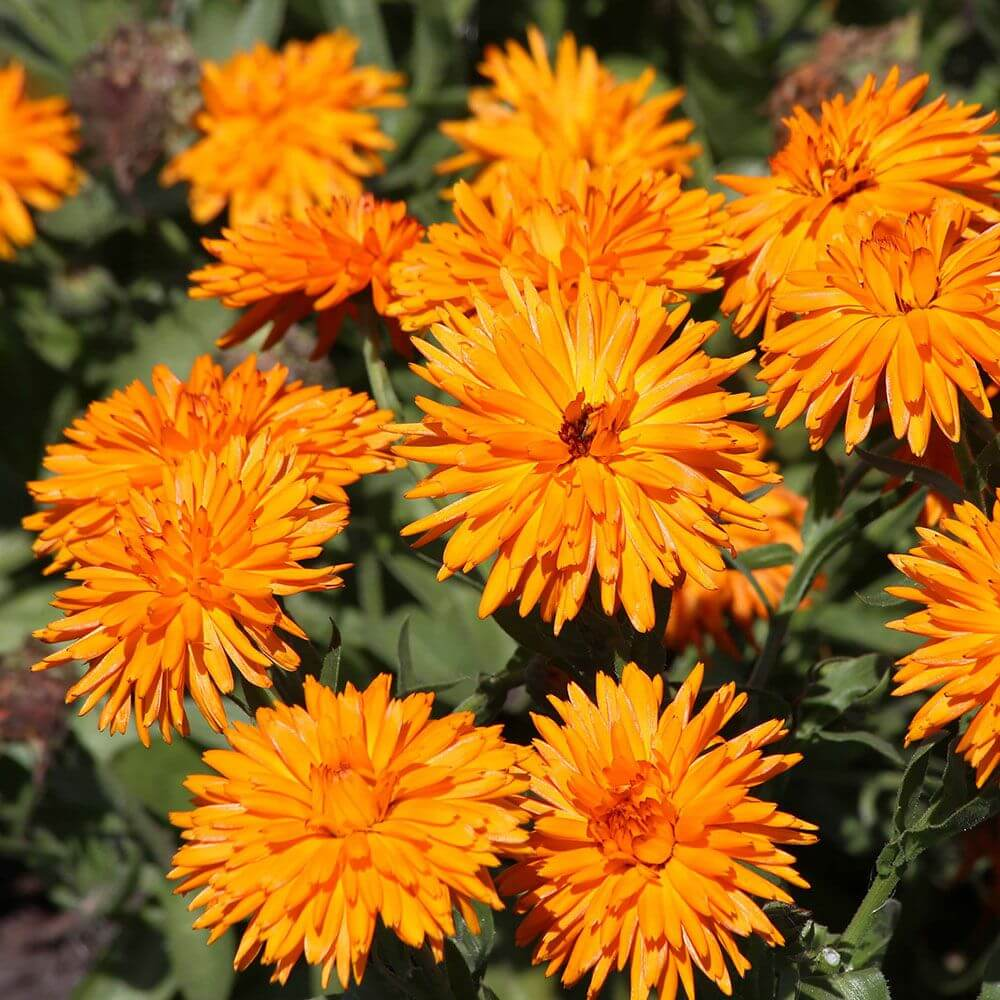Morgenfrue - Calendula officinalis 'Calexis Orange'