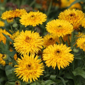 Calendula officinalis 'Calexis yellow'