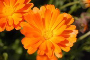 Morgenfrue - Calendula officinalis 'Brita'