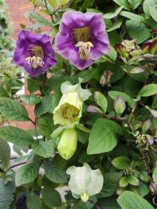 Fem stadier af Cobaea scandens blomst