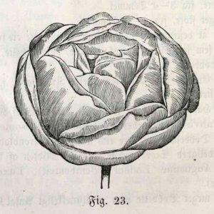 Kugleformet rose i Skjoldagers rosenbog