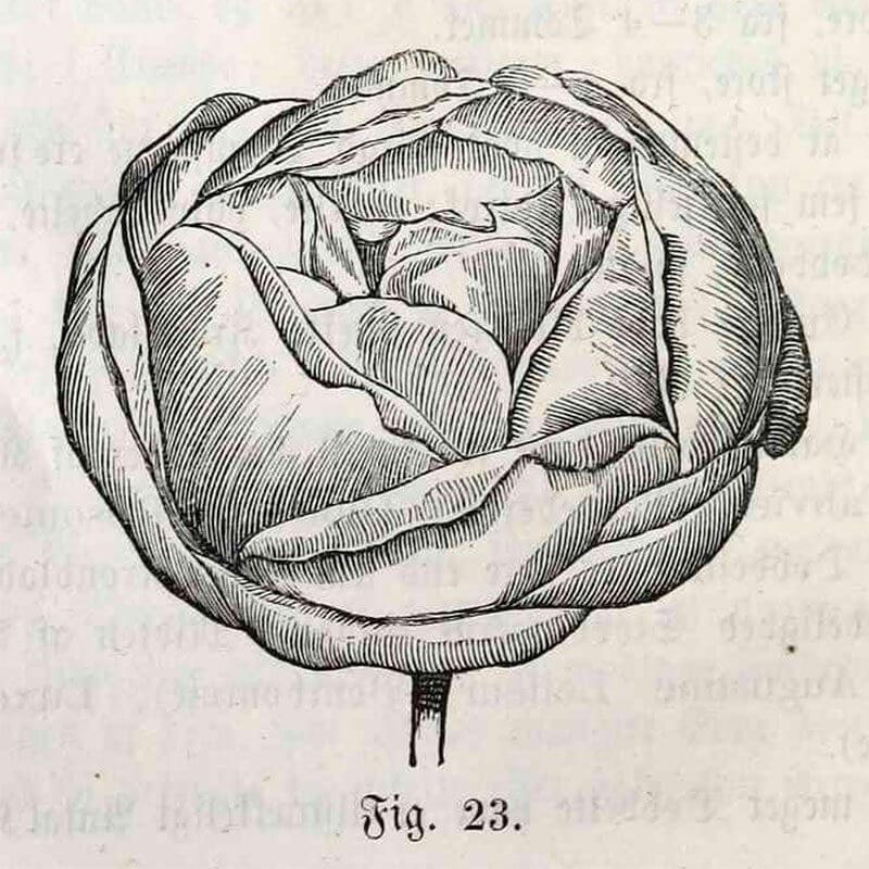 Kugleformet rose