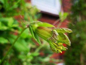 Cobaea campanulata i blomst