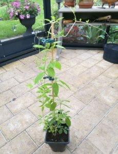 Cobaea campanulata i drivhus