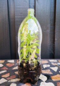 Cobaea campanulata stiklinger