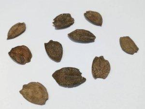 Cobaea campanulata frø