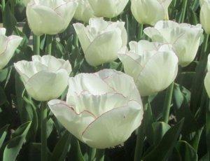 'Prinsesse Marie' tulipan