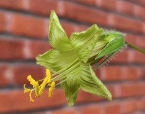Cobaea campanulata blomst