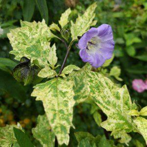 Broget kantbæger i blomst
