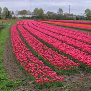 Mark i Holland med Kronprinsesse Mary tulipanen