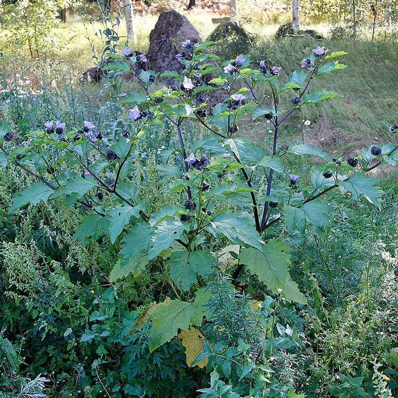 Kantbæger Nicandra Physalodes plante