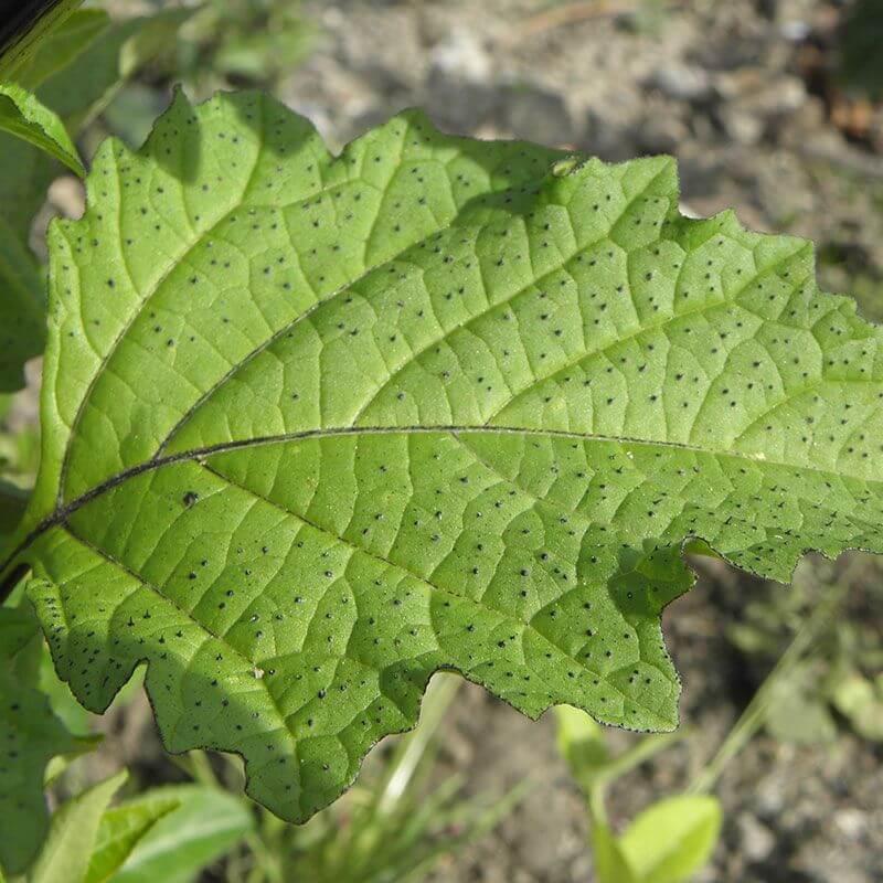 Kantbæger Nicandra physaloides blad