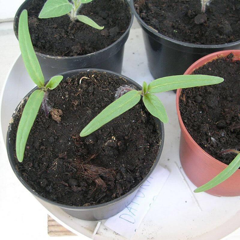 Pigæble kimplante.