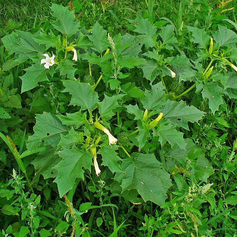 Pigæble Datura Stramonium Plante