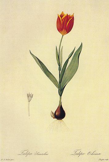 Bentzien anbefalede Tulipa suaveolens / Duc van Toli sin Vinterflora